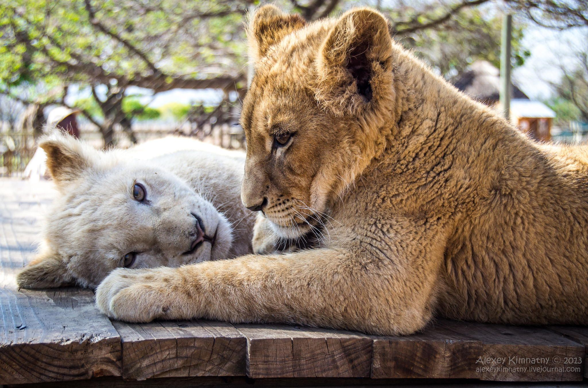 Lions by Alexey Kimnatny on 500px