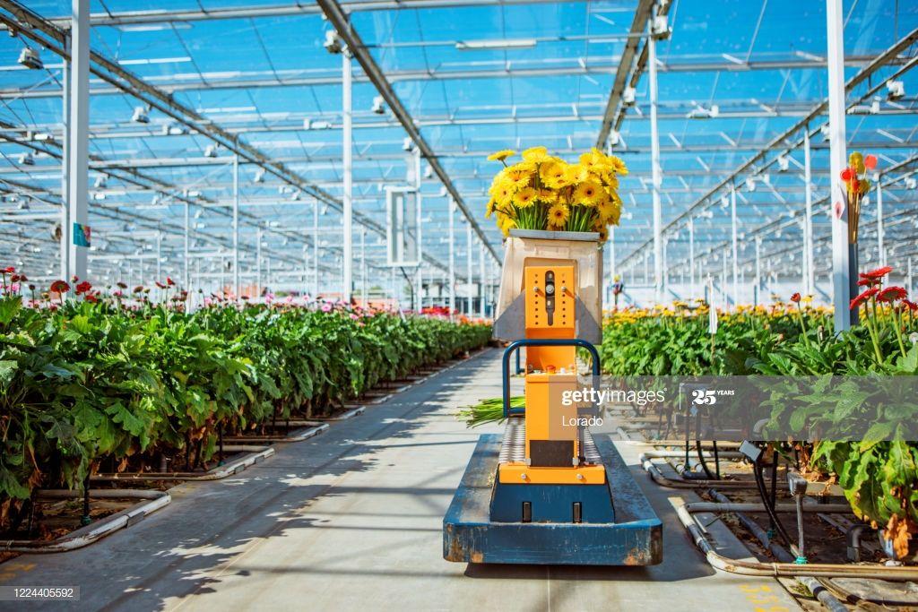 A Gerbera Flower Greenhouse In Holland In 2020 Gerbera Flower Gerbera Greenhouse