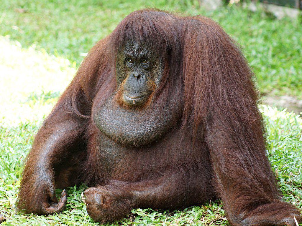 Orangutan Hd Desktop Wallpapers Orangutan Project Orangutan