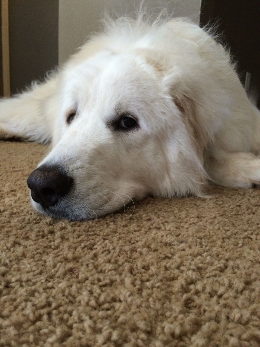 Great Pyrenees This Is Gus At 1 Year Old Golden Retriever Dogs