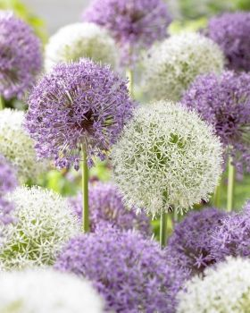 3 Big Impact Allium There S Nothing That Gives Better Impact In The Garden Than Allium This Combination Of 2 Large Size Bulb Flowers Allium Flowers Flowers