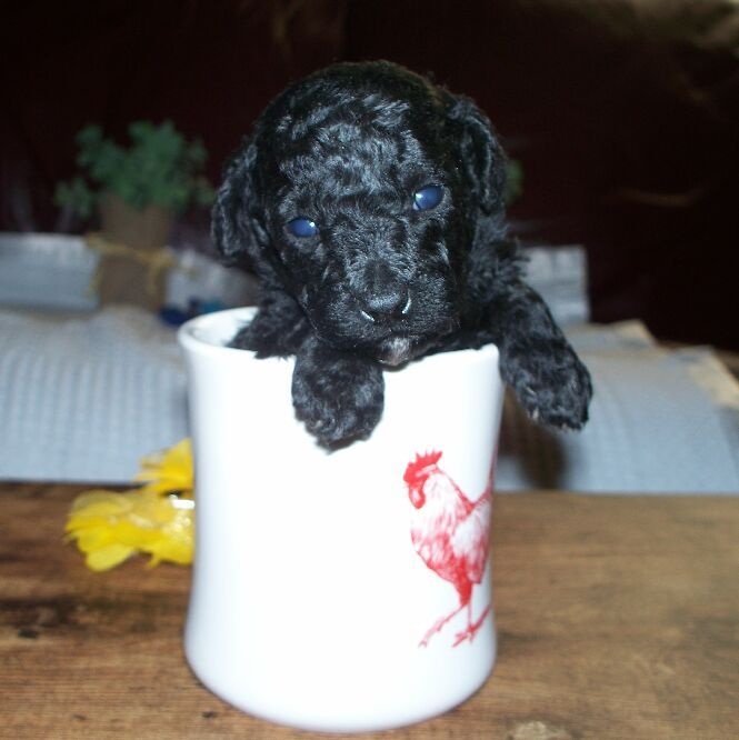 Poodle Toy Puppy For Sale In Lynchburg Va Adn 29406 On
