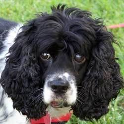 Marilyn Monroe is an adoptable Cocker Spaniel Dog in Newington, VA. Hi! I was recently found as a stray in the middle of a field and I am mostly blind. How could anyone dump such a sweet girl like me,...