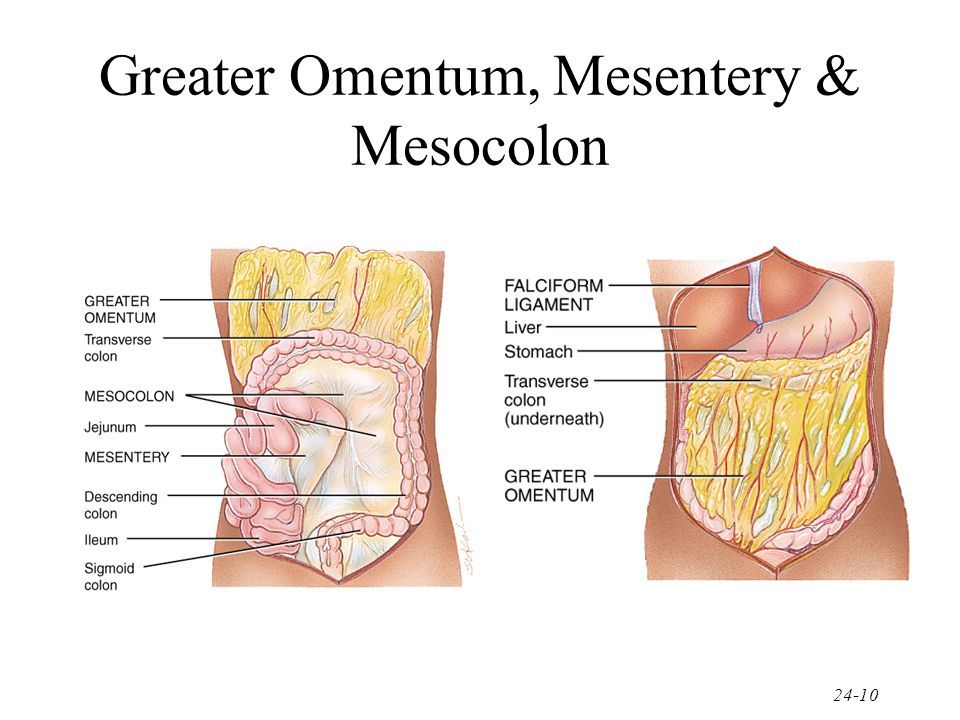 Deep to the greater omentum are the mesentery of the small intestine ...