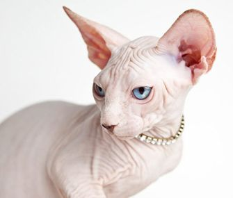 Breeds Of Dogs And Cats With No Hair With Images Cat Breeds Hairless Cat Sphynx Cat