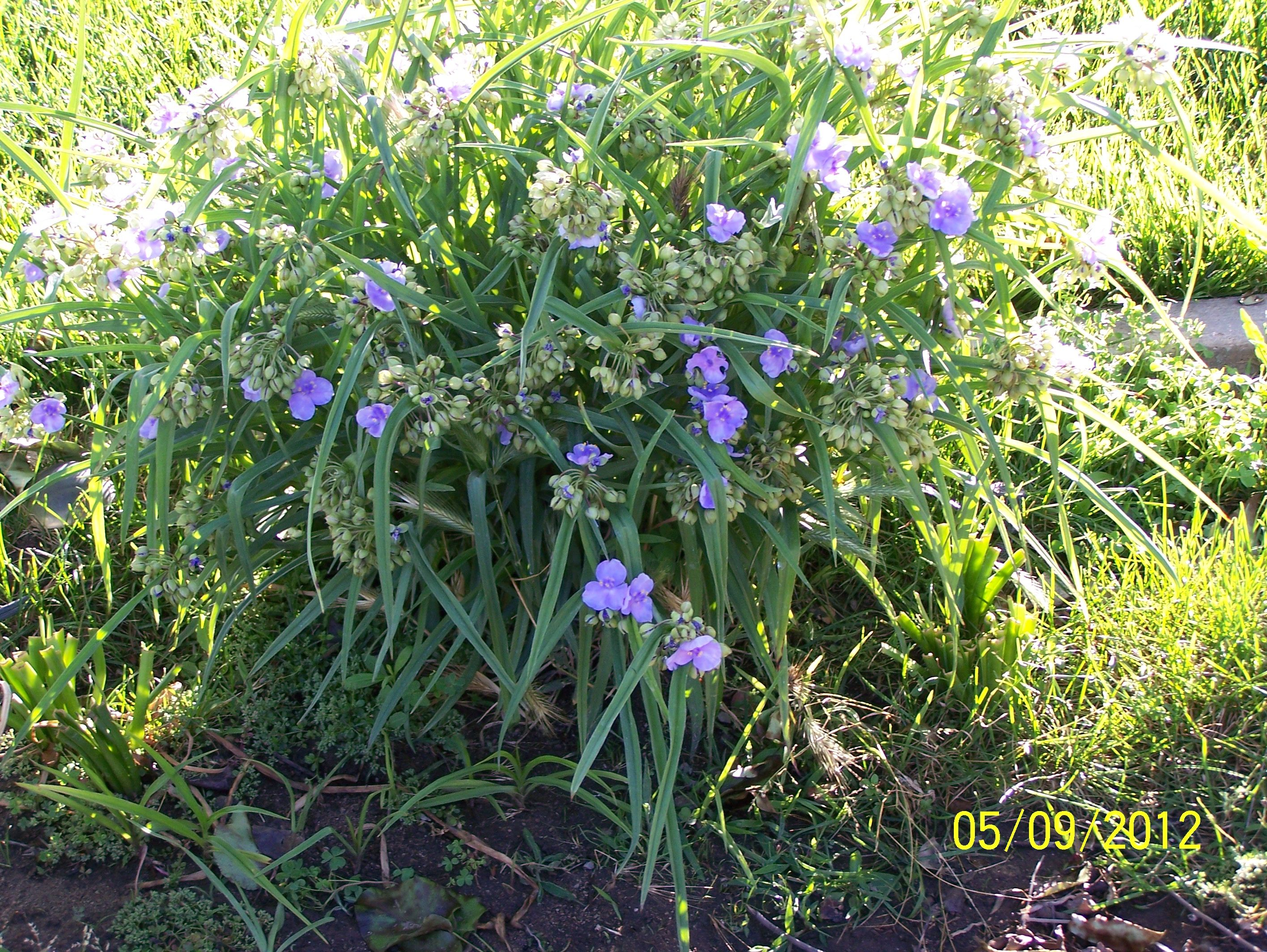 Light purple blooms from Widows Tears plant Flowers From My