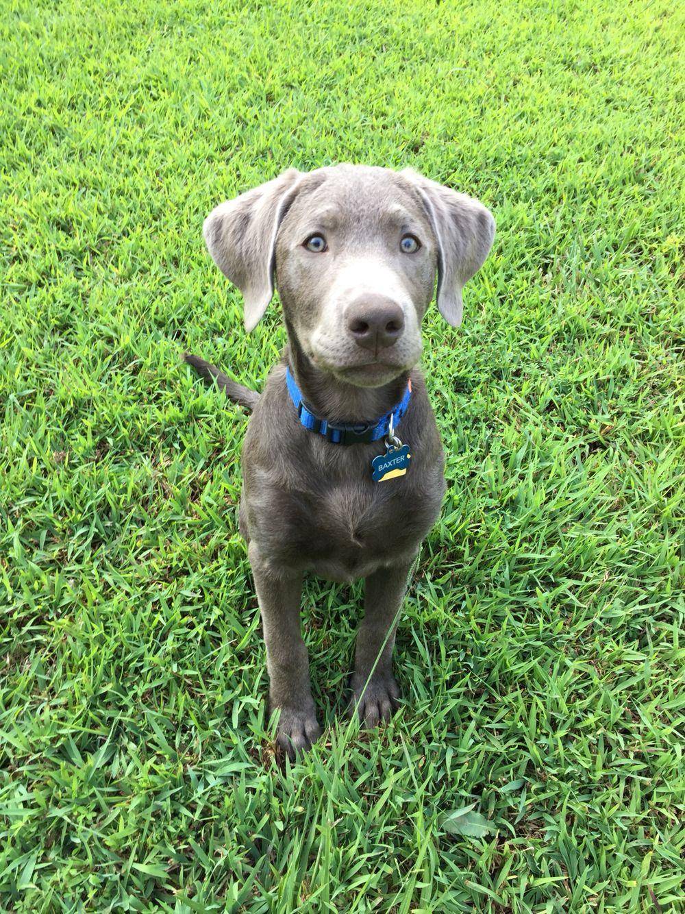 SilverLab DiluteChocolate Baxter Labrador retriever