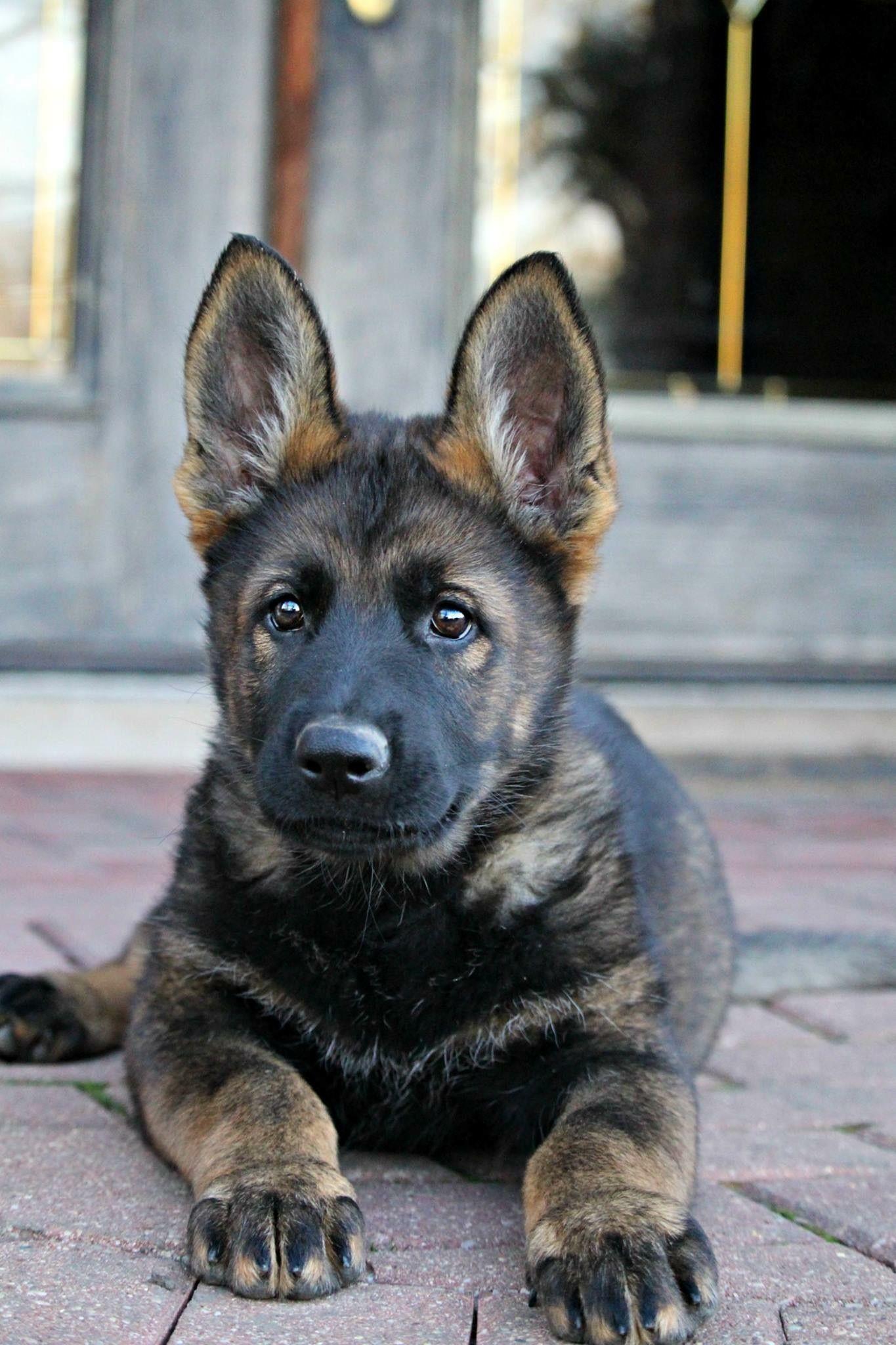 German Shepherds black - character, puppies, photo