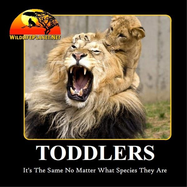 Toddlers - Lion and Cub Funny Animal Caption Photo ...