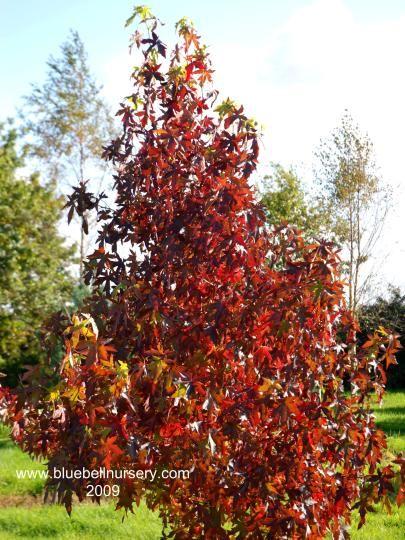Liquidambar Styraciflua Andrew Hewson Garden Trees Tree Nursery Sweet Gum