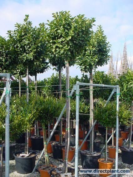 laurier als boom prunus laurocerasus 39 etna 39 kopen en online bestellen idee n voor de tuin. Black Bedroom Furniture Sets. Home Design Ideas