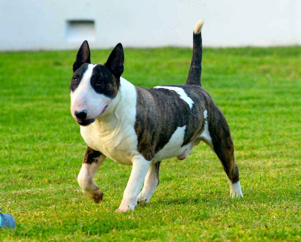 Bullterrierr Vinny Best Dog Breeds English Bull Terriers Bull