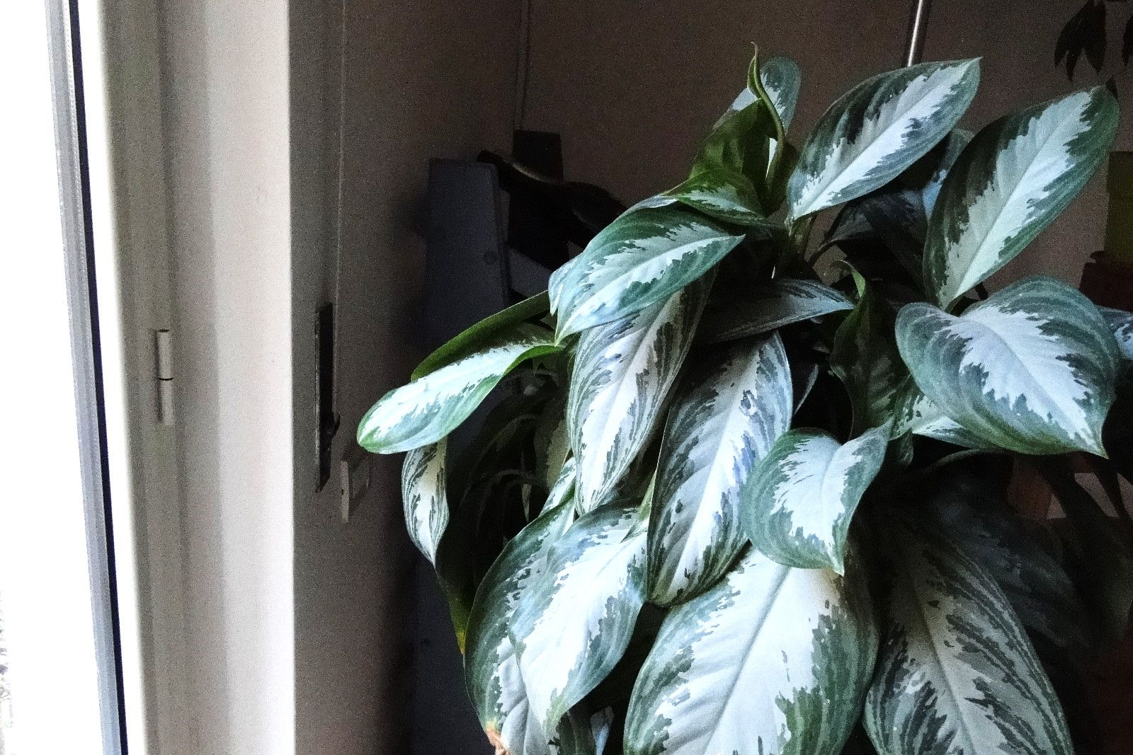 Aglaonema: pianta da appartamento facile anche con poca ...