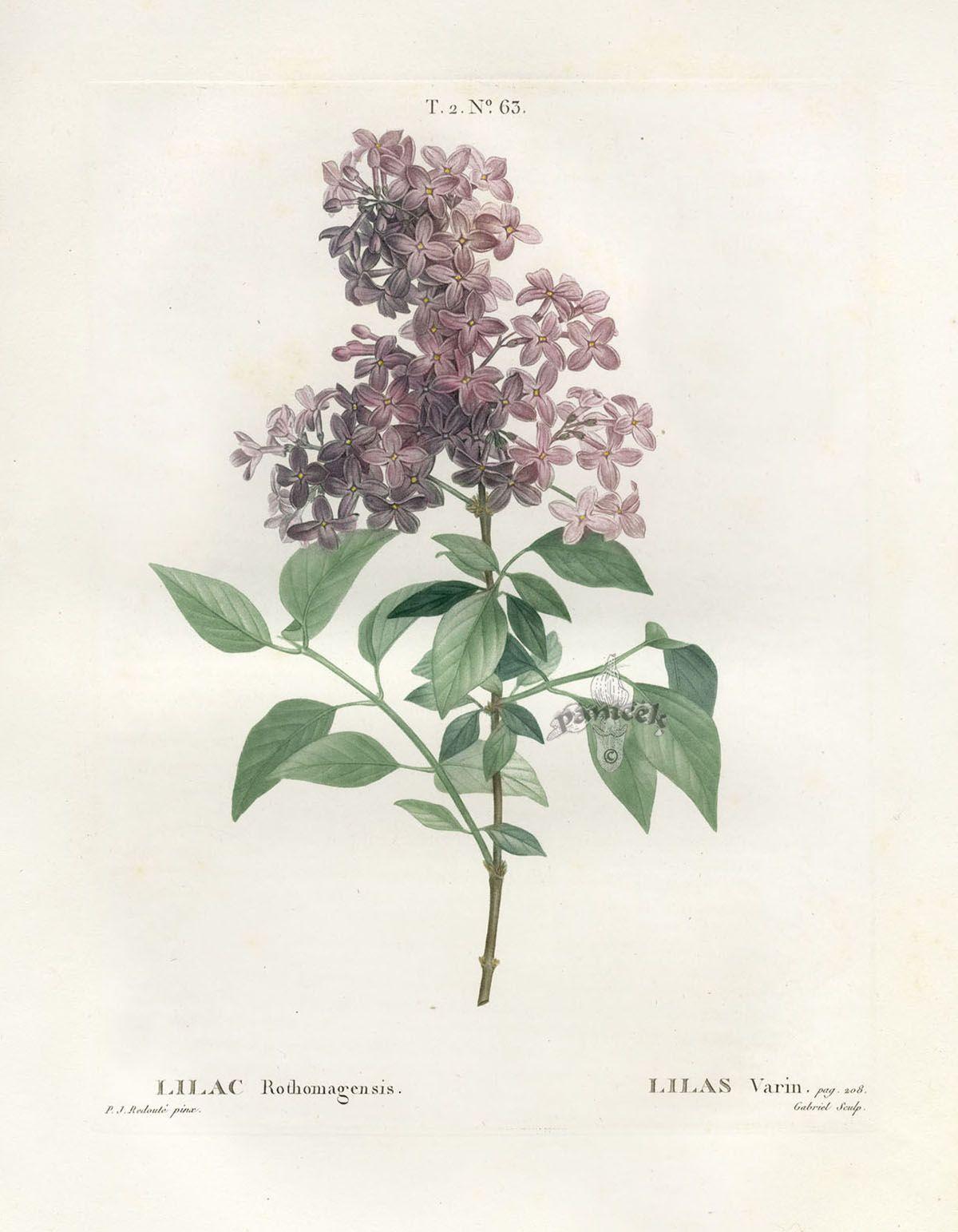 Printable Botanical Plates To Download For Free Pesquisa Do Google Botanical Drawings Vintage Flower Tattoo Antique Botanical Print