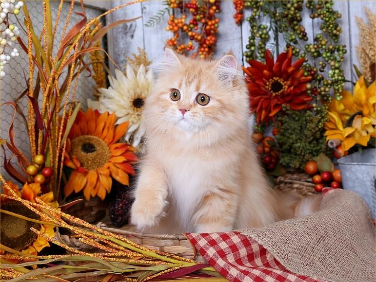 Red Persian Kittens Orange Persian Kittens Kittens