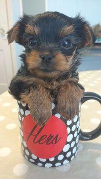 Yorkie Puppies Indiana : yorkie, puppies, indiana, Litter, Yorkie-Poo, Puppies, INDIANAPOLIS,, ADN-24639, PuppyFinder.com, Gender:, Female., Yorkie, Puppies,