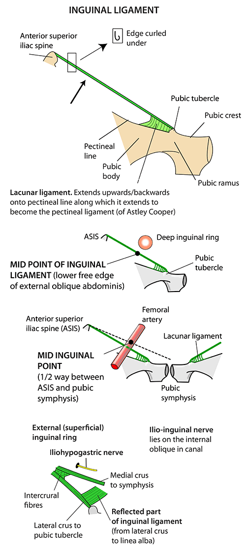 Inguinal Ligament Anatomy Diagram - Block And Schematic Diagrams •