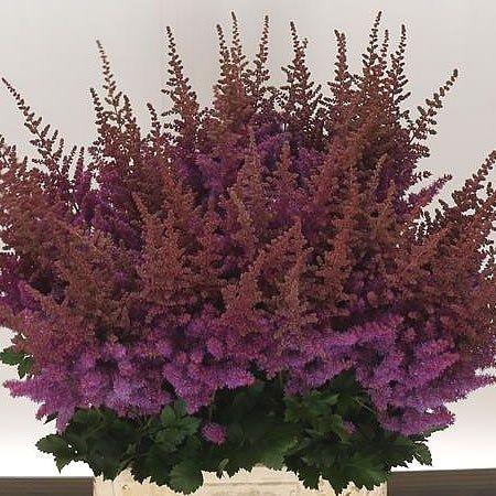 Astilbe Black Blue Online Wedding Flowers Purple Wedding Flowers Winter Wedding Flower Arrangements