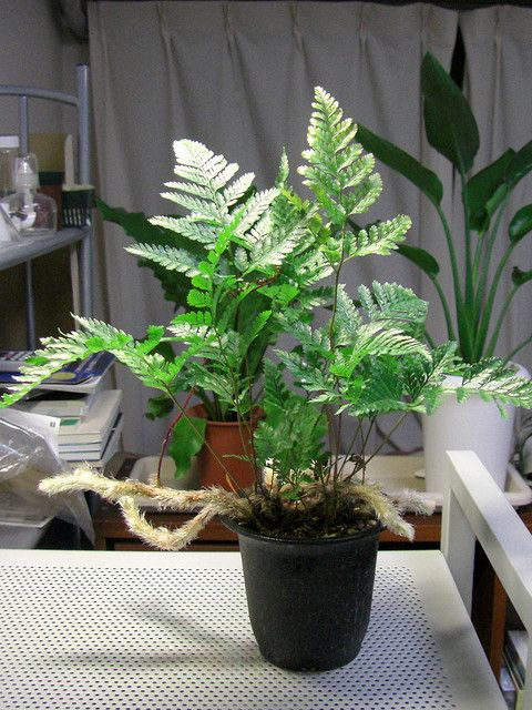 Use These Tips On Growing Davallia Species Indoors Fern Houseplant Potted Ferns Houseplants