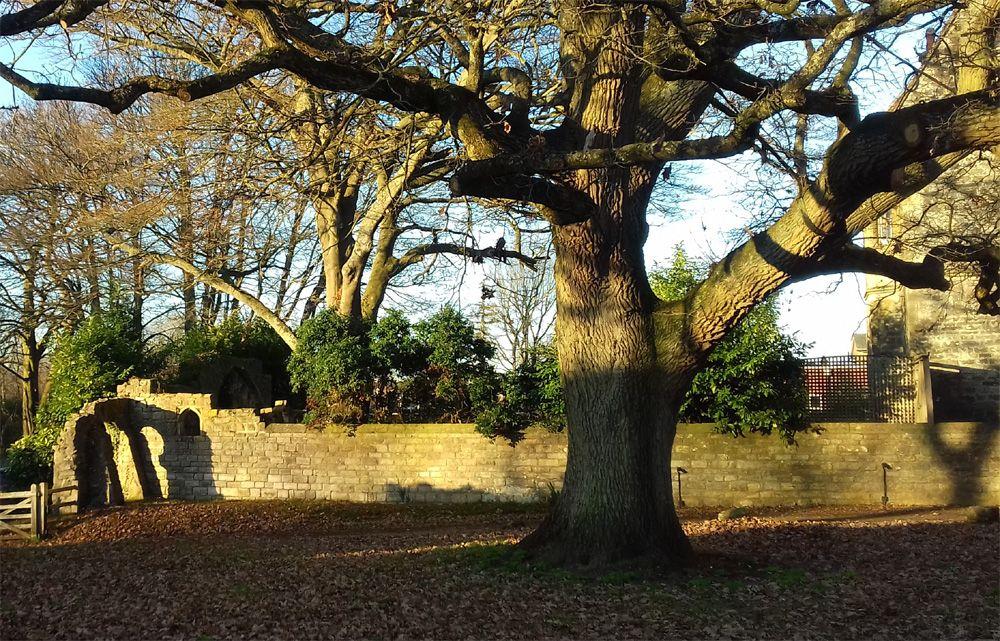 Romsey abbey oak | Romsey, Tree, Plants