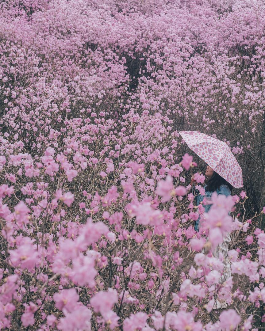 Cherry Blossoms Korea 2021 A Forecast Guide Where To Go Cherry Blossom Korea Travel Things To Do