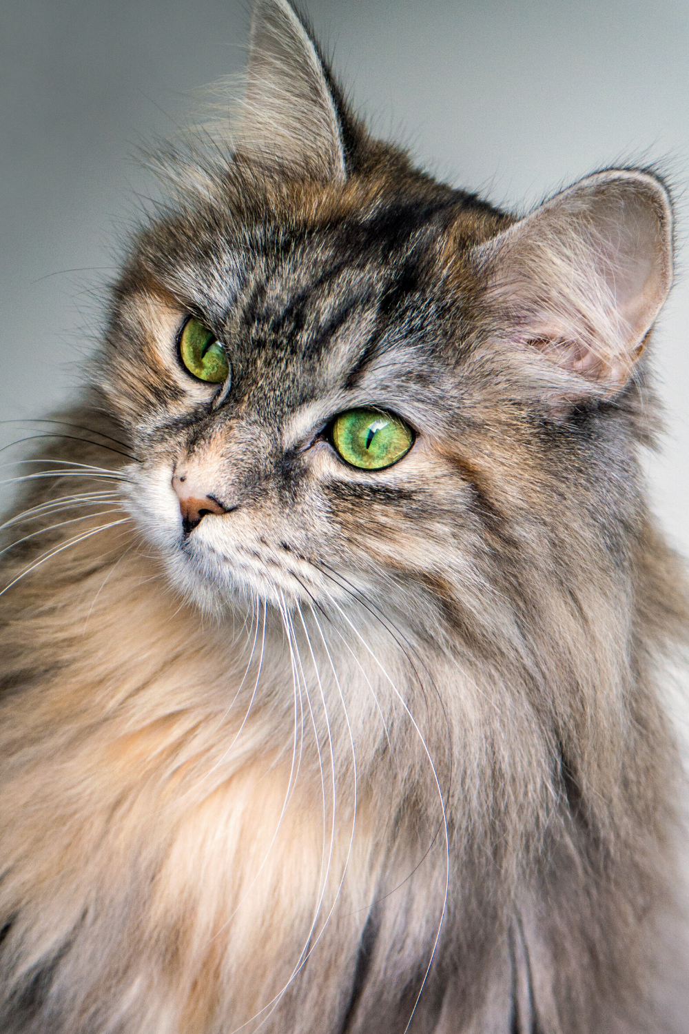Today, most breeders believe that the Maine Coon