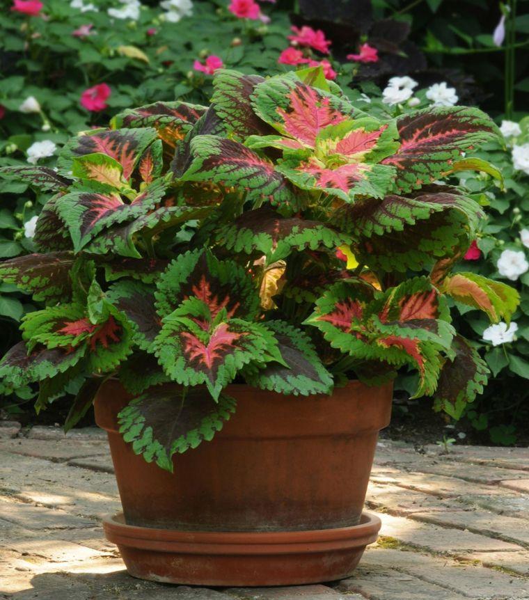 plantas de sombra el coleo en maceta y las plantas de sombra ideas