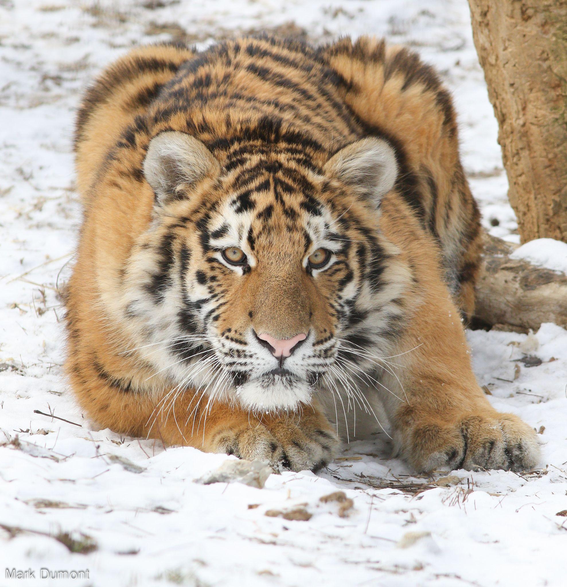 Columbus Zoo - Tiger Cub