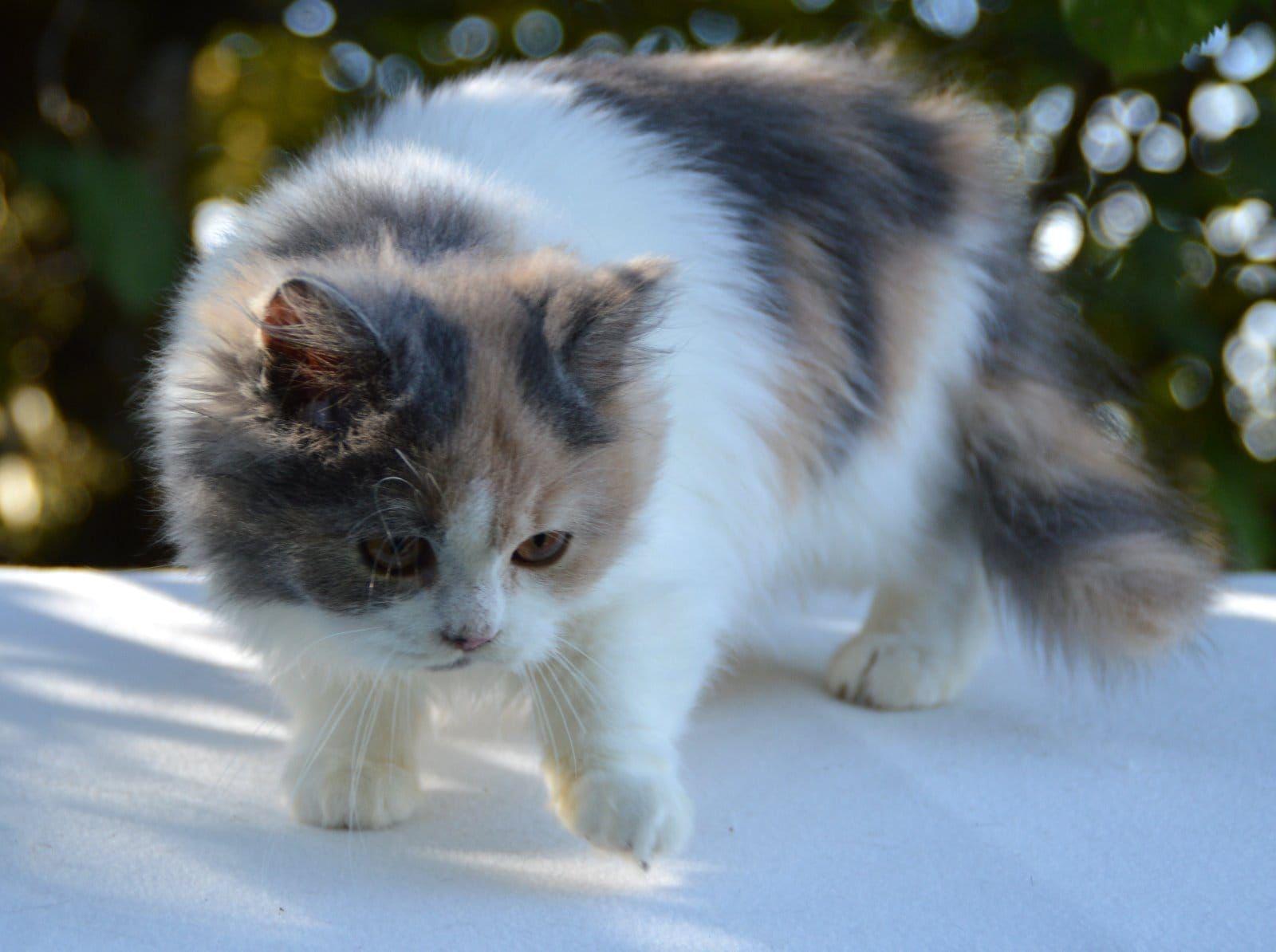 Beautiful british longhair named Florinda ... ein Traum in Plüsch ! Unsere kleine BLH Lady Florinda, ein Traum in blaucreme mit weiß (München) - Haustier-Anzeiger