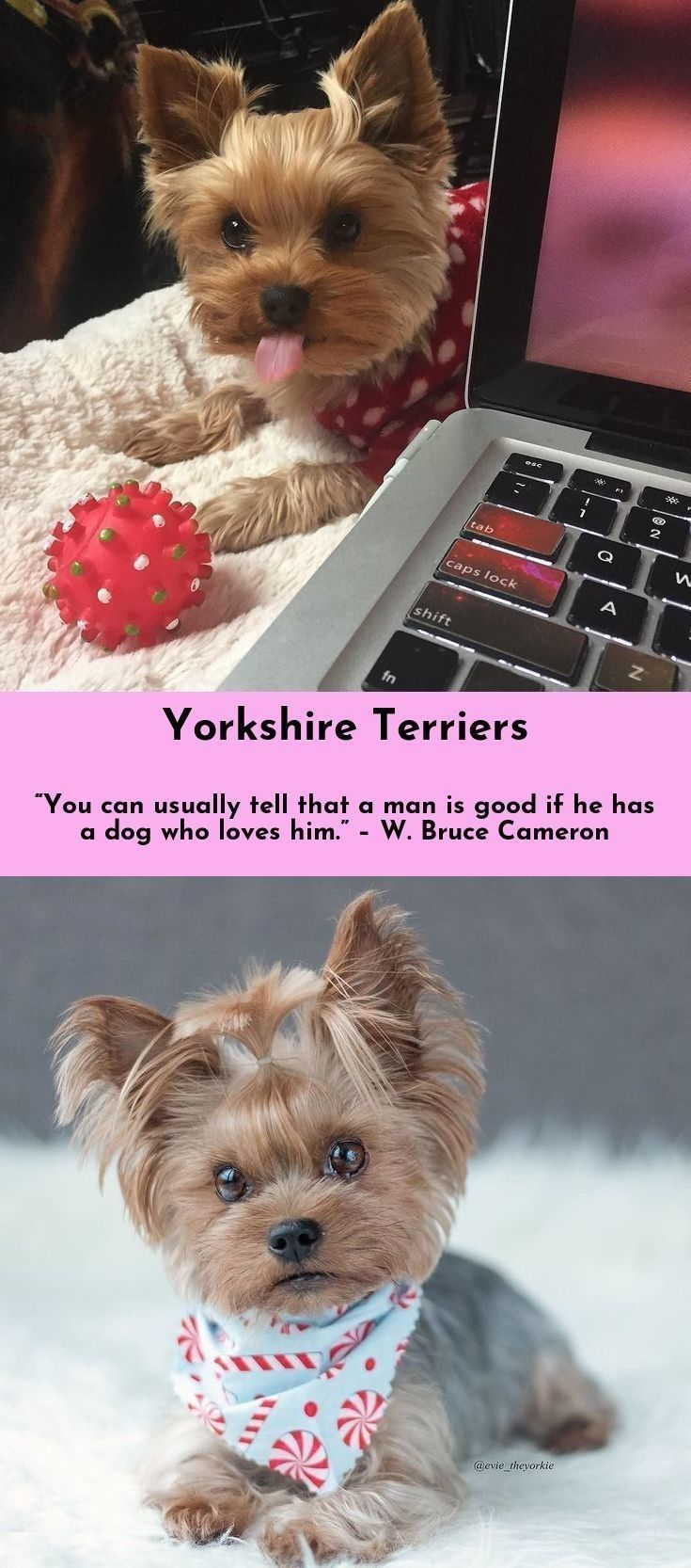 Discover more about Yorkshire Terriers yorkshireterrier yorkielove