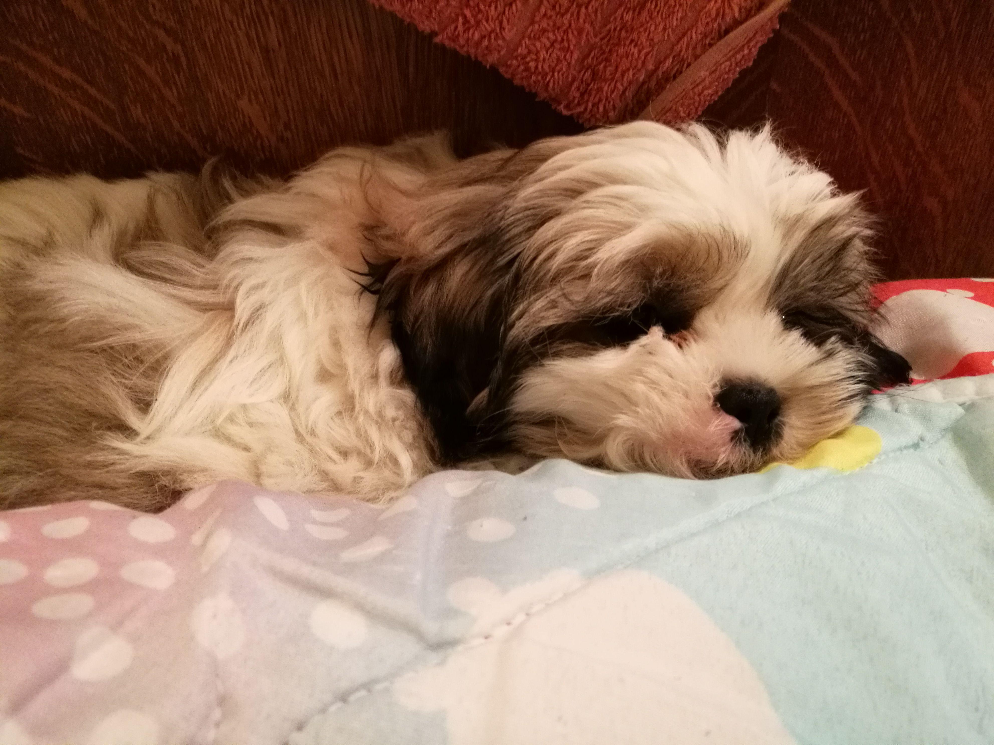 Shihtzu Babyshihtzu Sleeping Shihtzu Shihtzu Shihtzu Puppy