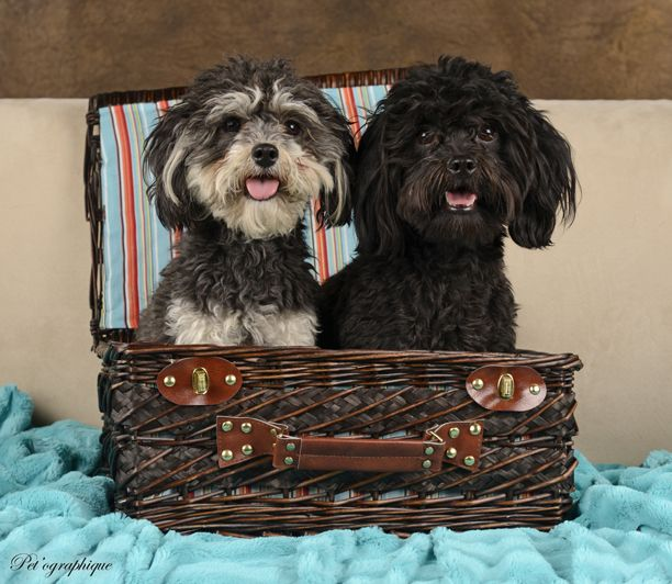 Dion Didi Are An Incredibly Adorable Pair Of Young Yorkie Poos