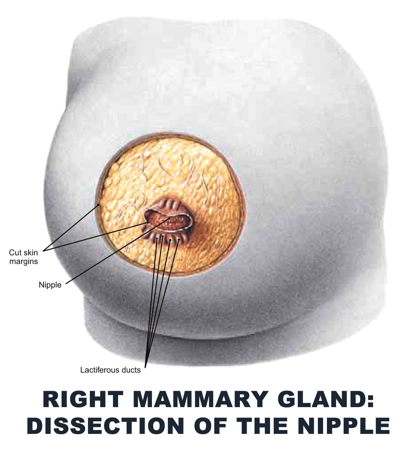 Right Mammary Gland: Dissection of the Nipple - #anatomy images ...