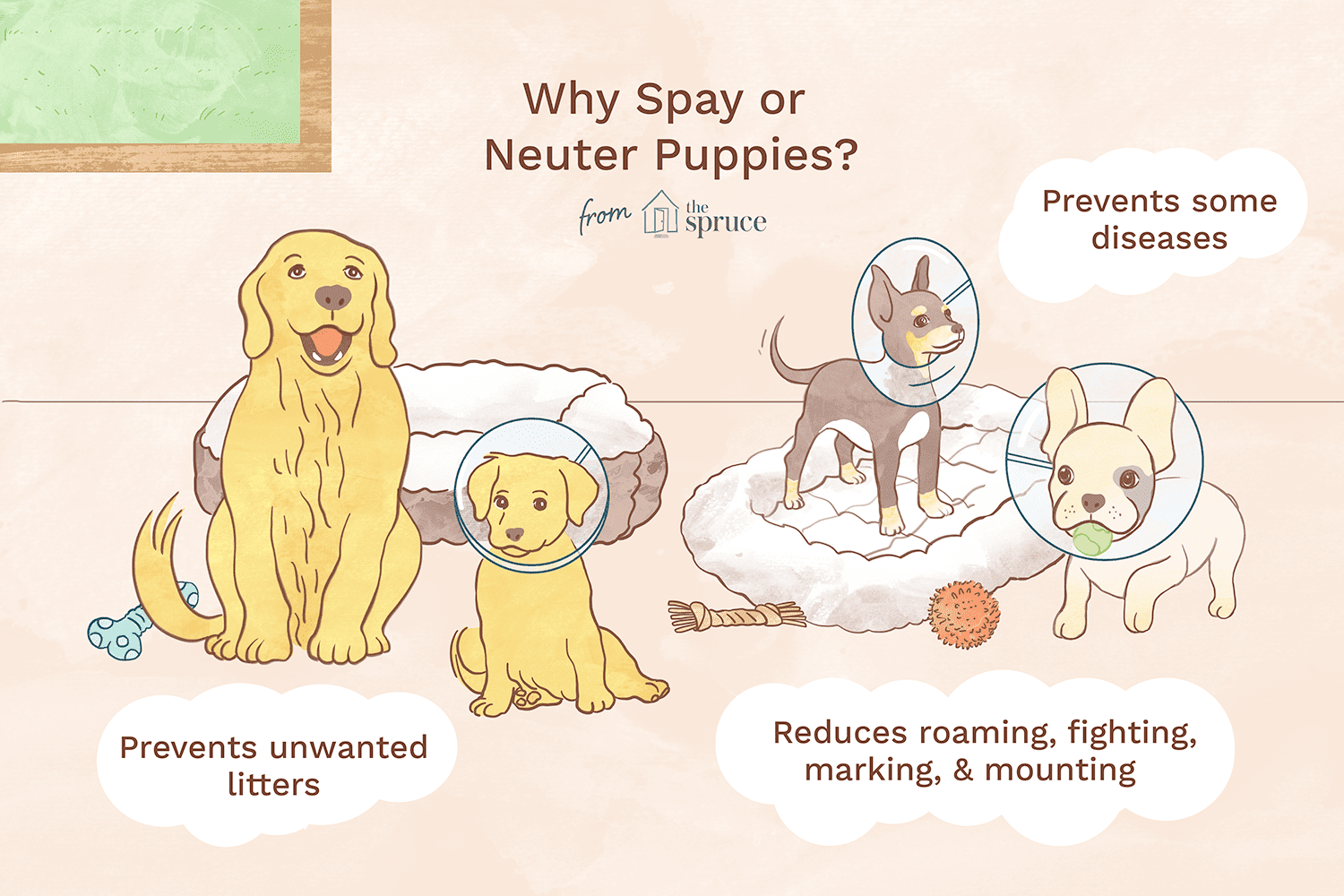 Understand How And Why Dogs Are Sterilized When Is The Best Time To Spay And Neuter Your Puppy And How To Care For The Dog Whining Puppy Development Dog Care