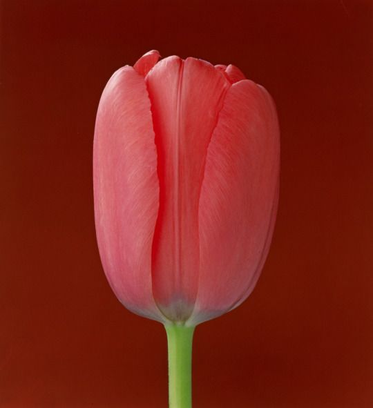 Robert Mapplethorpe, Tulip, 1988. USA. © Robert Mapplethorpe Foundation. Via J. Paui Getty Museum