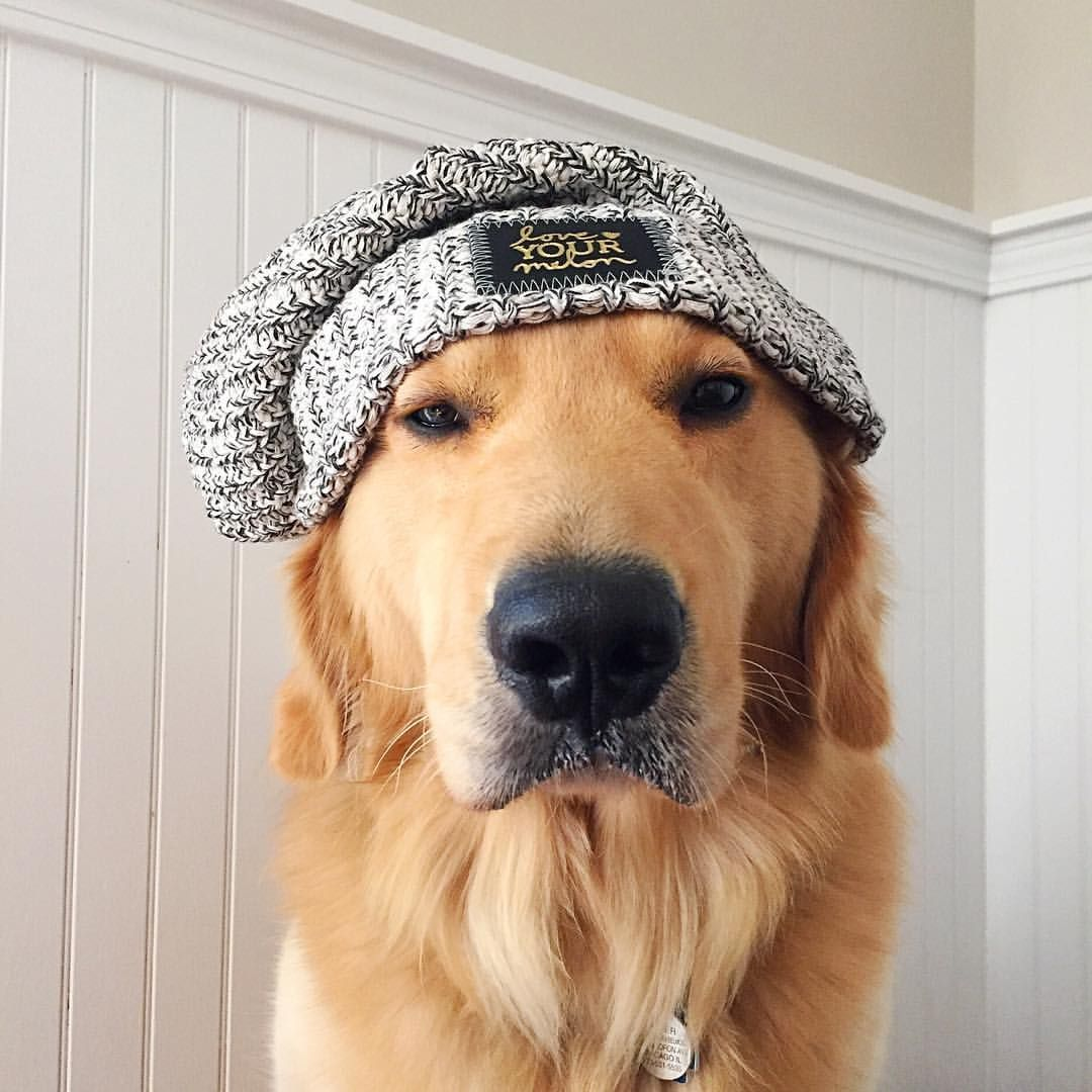 888 Likes 9 Comments Bauer The Golden Retriever Bowwow Bauer Thegolden On Instagram Looking For A Great Gift This Golden Retriever Retriever Dog Mommy