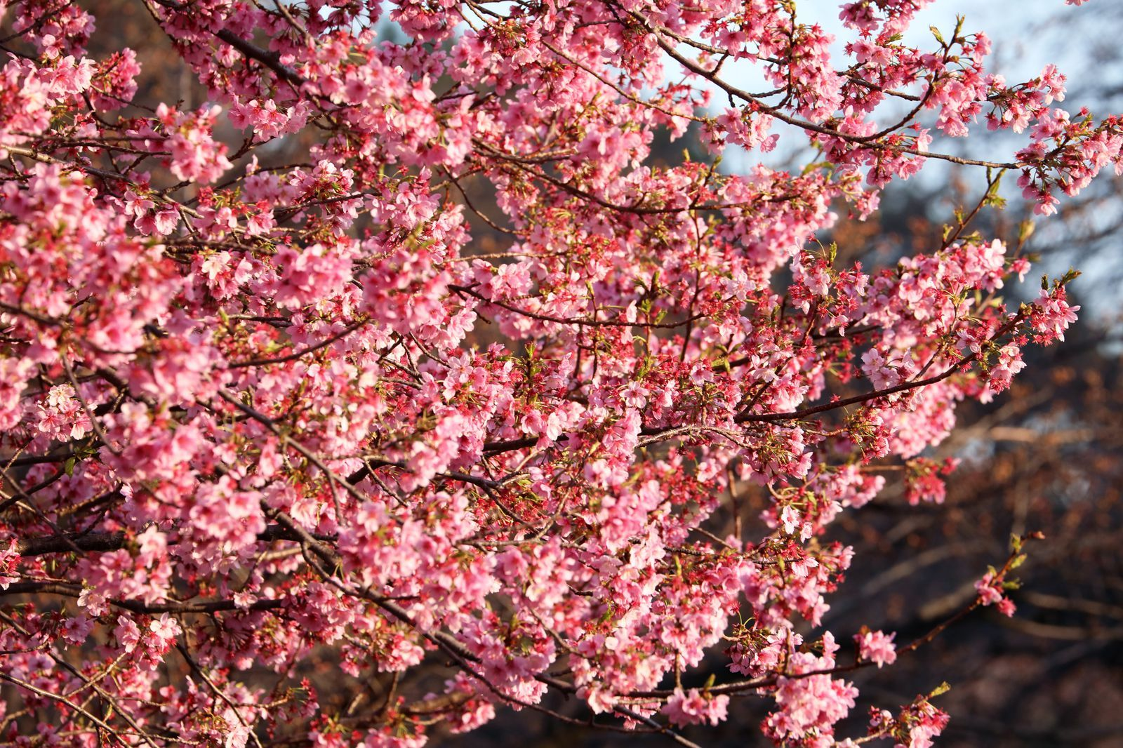 Cherry Blossom Season Has Started In Japan And The Photos Are Breathtaking Cherry Blossom Season Cherry Blossom Japan Cherry Blossom