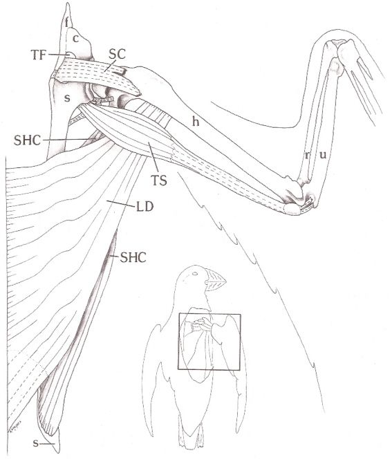 Bird Wing Muscle Anatomy Right wing of an atlantic | Anatomy: Wings ...