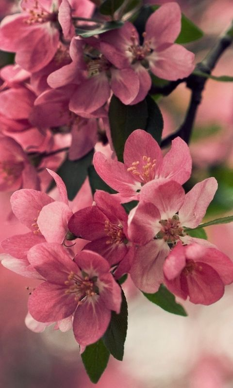 Download Wallpaper 480x800 Flower Wood Shrub Spring Bloom Htc Samsung Galaxy S2 2 Ac Cherry Blossom Wallpaper Blossom Wallpaper Cherry Blossoms Wallpaper April flores best and new hd wallpaper