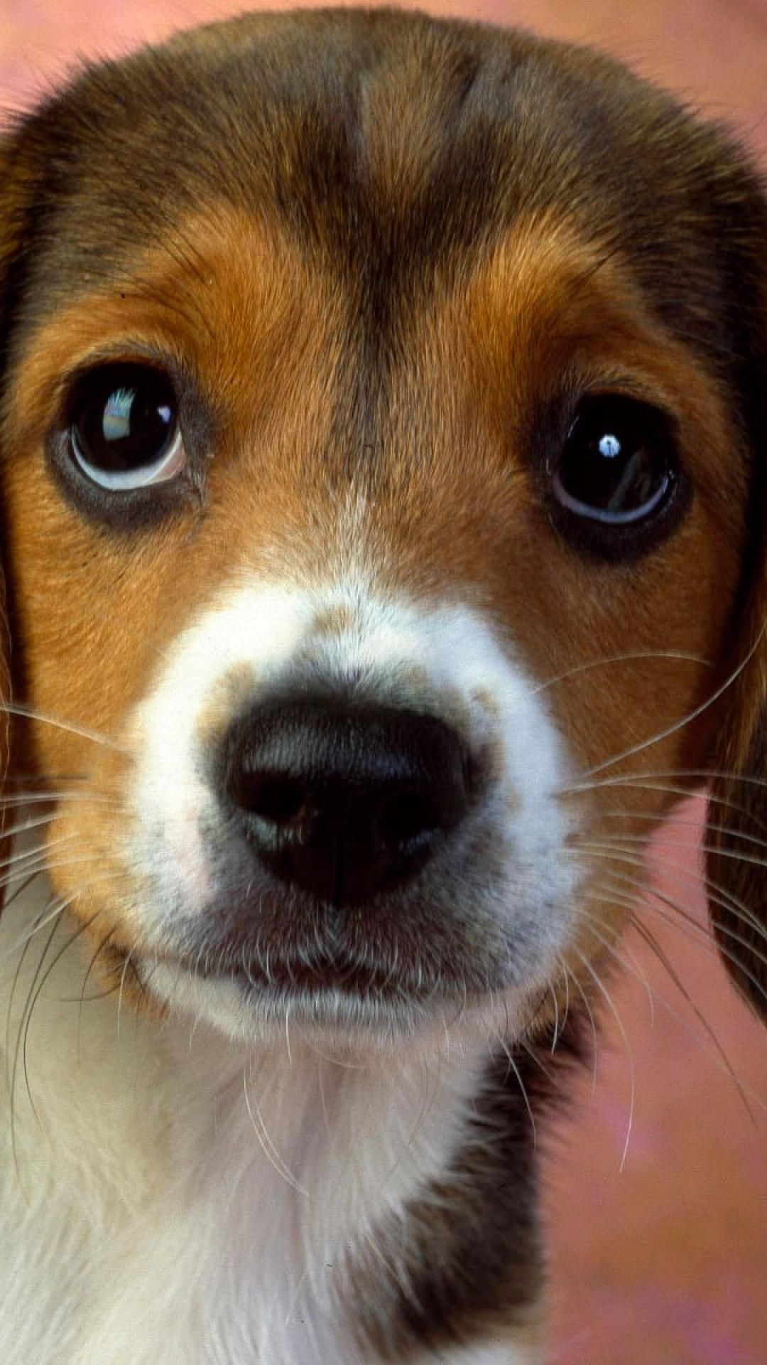 Dogs Beagles Puppies You Can Get Additional Details About Pet