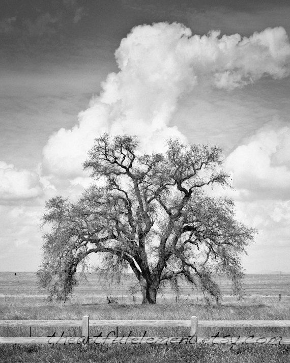 A 8x10 black and white photograph of an old majestic oak tree photographed after a spring storm professionally printed on archival paper with a luster
