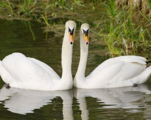 11 Animals That Mate For Life Swans Bird And Animal