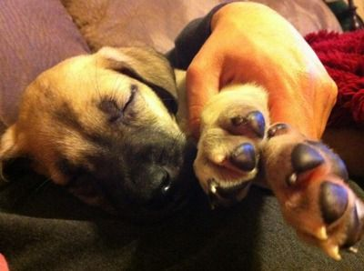 Daniff Puppies Great Dane Bullmastiff Crosses I Want One