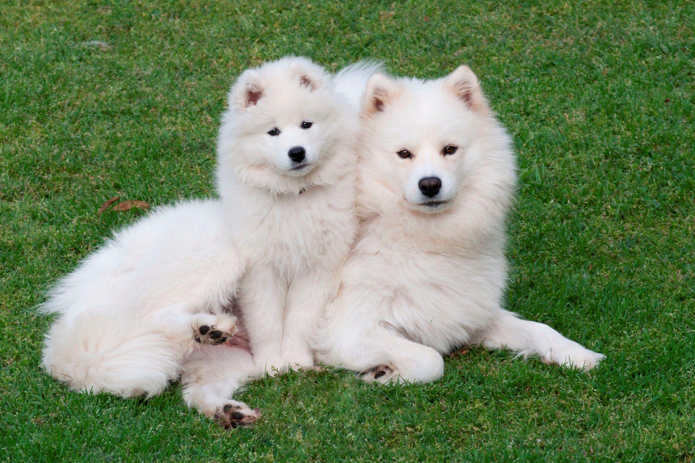 samoyeds | severnaya samoyeds - current dogs | dogs | pinterest