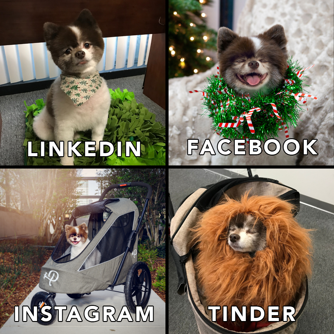 Get A Boy Who Can Do It All Petique Dogs Puppy Socialmedia Pomeranian In 2020 Dogs Small Pets Luxury Pet