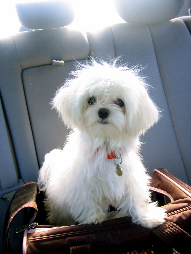 Restless Polo in the Back Seat Maltese dogs, Cute