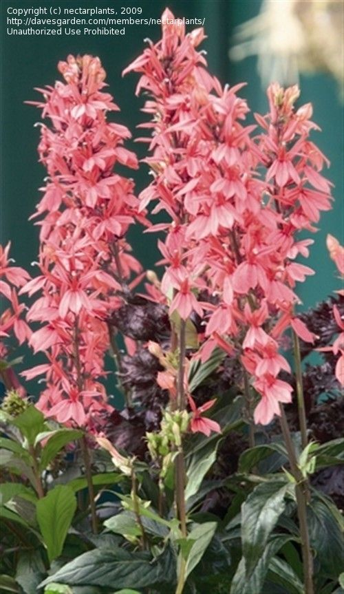 Full size picture of Hybrid Cardinal Flower, Hybrid Lobelia