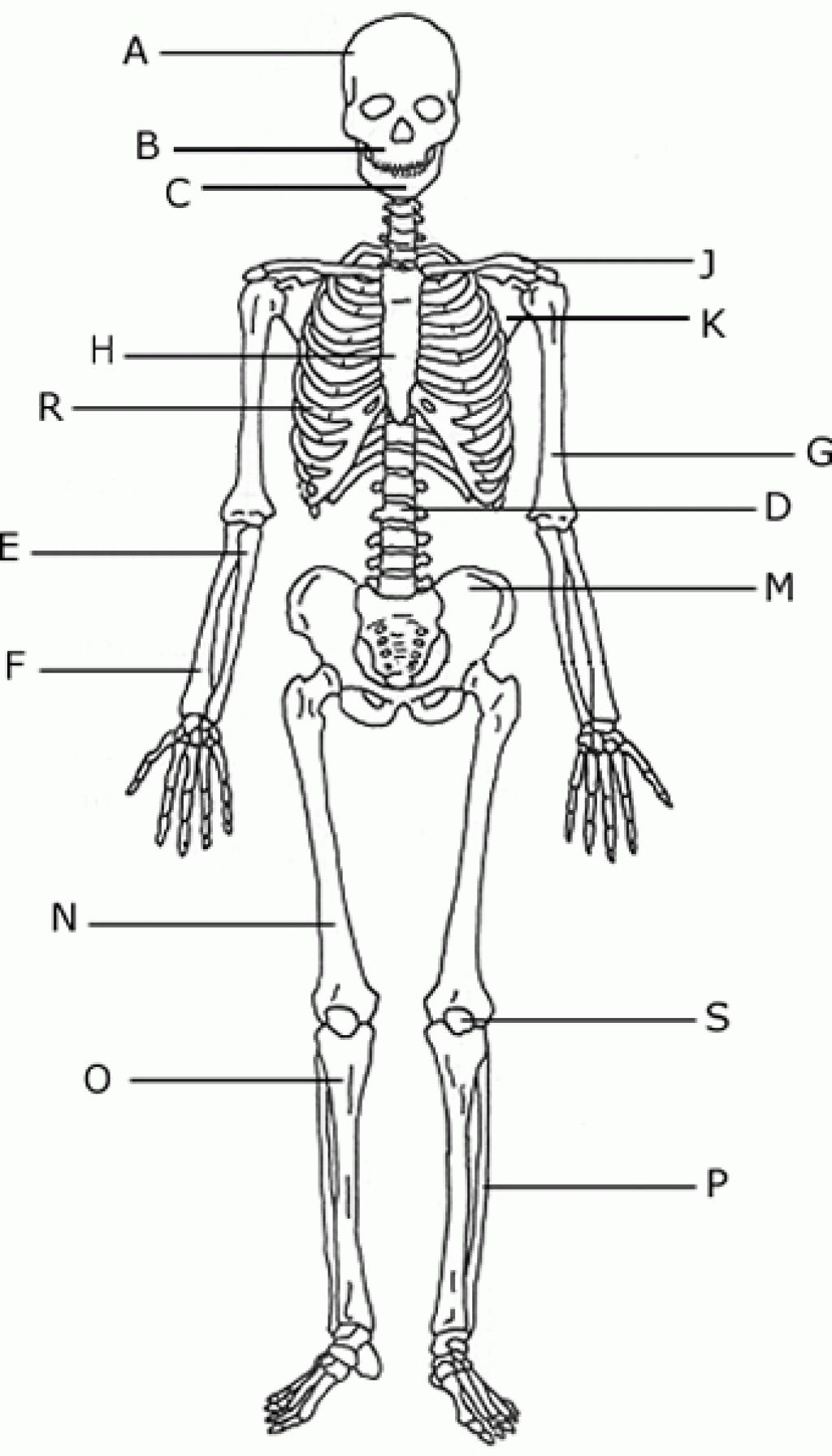 unlabeled diagram of the human skeleton  human skeleton