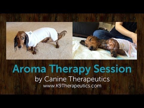 Aroma Therapy Session With Gura The Kaninchen Dachshund Canine