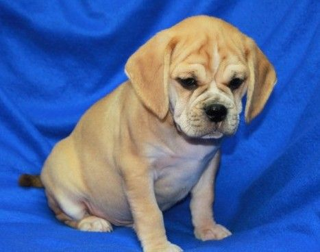 Potty Trained Puggle Puppies Puggle Puppies